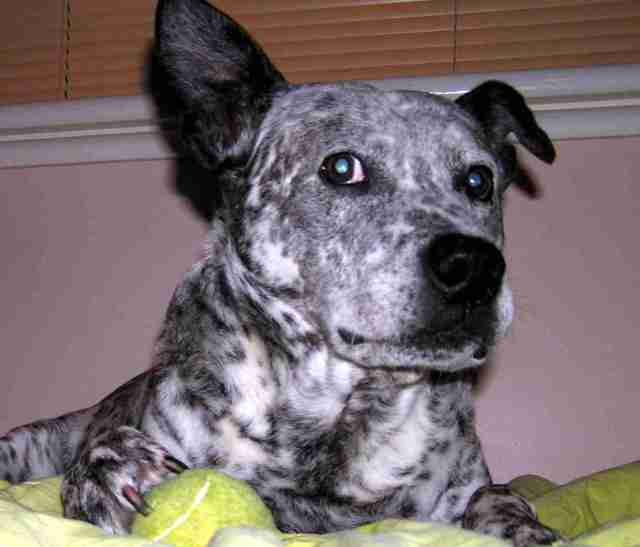 Classic 'Stink Eye' from SPUD, the BLUE HEELER