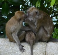 Monkeys kissing at MacRitchie Reservoir