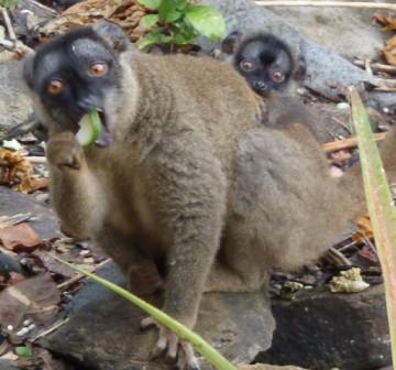 Lemur (1)