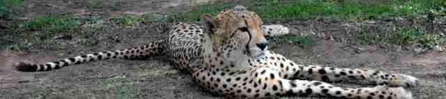 banner cheetah 2