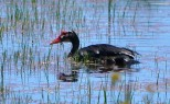Bird - goose