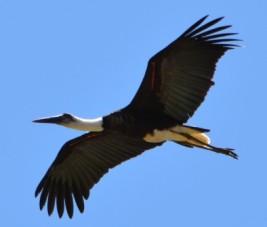 Bird - stork (2)