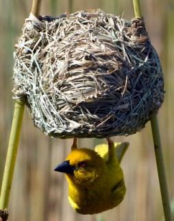 Delightful Yellow Weaver builds his home in the reeds