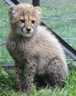 Two month old baby Cheetah