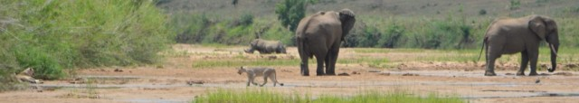 Three of the Big Five - Male Lion to the left of photo, Lioness, Rhinos and Elephants. Perfect!