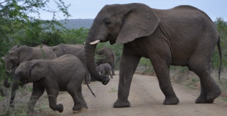 About 30-50 elephants crossed our path