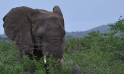 Stink eye from an elephant - a little unnerving!