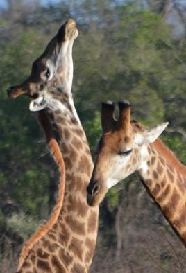 Giraffe (2)