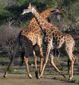 Fighting giraffe kept us enthralled