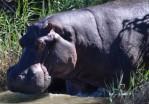 I got my Hippopotamus for Christmas!