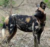 Wild dog looking for his dinner
