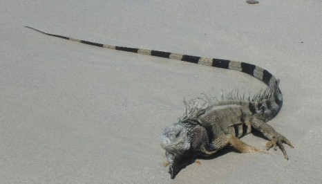This old iguana washed up on the shore