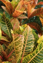 Magnificent croton colours