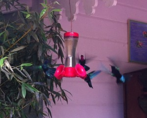 Hummingbirds at Jardin de Balata