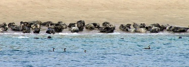 Blanket Island seals