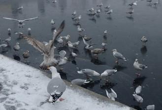 Ice-skating seagulls