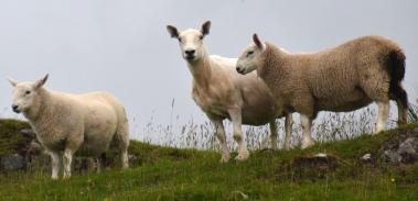 20190715 canna woolly ewe