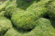 Manx Shearwater nests