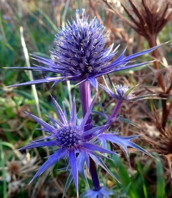 Blue Sea Holly